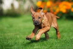 Rhodesian ridgeback puppy running outdoors Stock Images