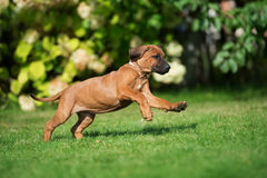 Rhodesian ridgeback puppy running outdoors Royalty Free Stock Image