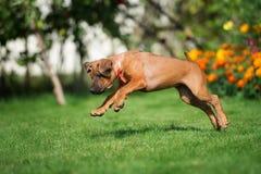 Rhodesian ridgeback puppy running outdoors Stock Photos