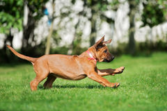 Rhodesian ridgeback puppy running outdoors Royalty Free Stock Photography