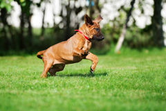 Rhodesian ridgeback puppy running outdoors Royalty Free Stock Photos
