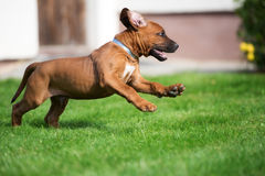 Rhodesian ridgeback puppy running outdoors Royalty Free Stock Image