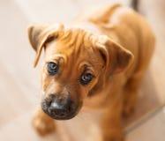 Rhodesian Ridgeback puppy sad stock photos