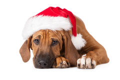 Rhodesian ridgeback puppy in a santa hat Royalty Free Stock Images