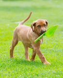 Rhodesian Ridgeback puppy with shovel Stock Photo