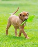 Rhodesian Ridgeback puppy with shovel stock photo