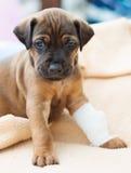 Rhodesian Ridgeback puppy sick Royalty Free Stock Image