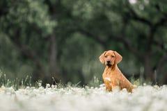 Rhodesian Ridgeback puppy sitting on a flowery meadow. Red Rhodesian Ridgeback puppy sitting on a flowery meadow stock images