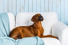 Rhodesian Ridgeback puppy on sofa in a marine style interior. Rhodesian Ridgeback puppy lying on a sofa in a marine style interior Royalty Free Stock Image