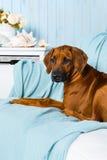 Rhodesian Ridgeback puppy on sofa in a marine style interior. Rhodesian Ridgeback puppy lying on a sofa in a marine style interior Stock Image