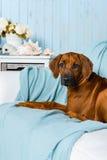 Rhodesian Ridgeback puppy on sofa in a marine style interior. Rhodesian Ridgeback puppy lying on a sofa in a marine style interior Stock Photography