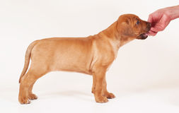 Rhodesian Ridgeback puppy stacked Stock Images