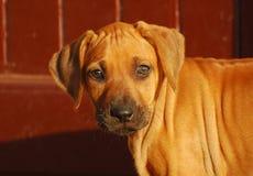 Rhodesian Ridgeback puppy staring Stock Image