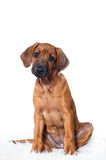 Rhodesian ridgeback Stock Photography