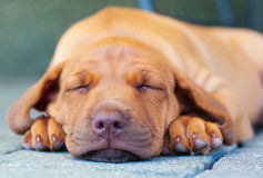 Rhodesian Ridgeback puppy tired. A tired african Rhodesian Ridgeback puppy is lying on grey background. The little dog is putting its paws beside its head. The stock photography