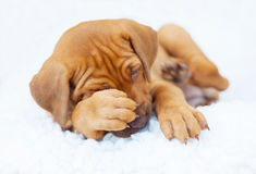 Rhodesian Ridgeback puppy tired. A tired african Rhodesian Ridgeback puppy is lying on white background. The little dog is putting its paw in its face. The stock image