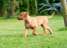 Rhodesian Ridgeback puppy walking in grass stock photos