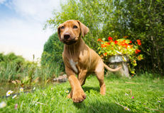 Rhodesian Ridgeback puppy walking in grass royalty free stock photography
