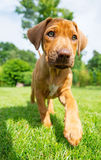 Rhodesian Ridgeback puppy walking in grass Stock Photo