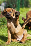 Rhodesian Ridgeback Puppy waving. A beautiful little Rhodesian Ridgeback hound puppy dog portrait with cute expression in the face sitting in the grass watching Stock Images