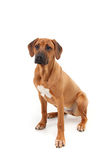 Rhodesian Ridgeback puppy on white background Stock Photos