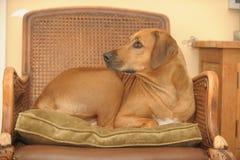 Rhodesian Ridgeback que coloca na cadeira Fotografia de Stock Royalty Free