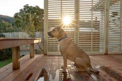 Rhodesian Ridgeback que se sienta en cubierta como sistemas de Sun imagen de archivo