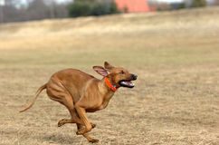 Rhodesian ridgeback running Royalty Free Stock Photos