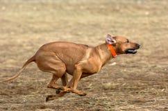 Rhodesian ridgeback running Royalty Free Stock Image