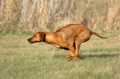 Rhodesian ridgeback running. Young Rhodesian ridgeback running across the field with speed and power while playing royalty free stock photo