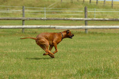 Rhodesian ridgeback running. Young Rhodesian ridgeback running across the field with speed and power while playing stock photos