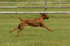 Rhodesian ridgeback running. Rhodesian ridgeback male running across the field with speed and power while playing stock images