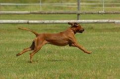 Rhodesian ridgeback running Stock Images