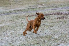 Rhodesian ridgeback running  on the grass. Selective focus. Rhodesian ridgeback dog running outside in the park. Selective focus Stock Photos