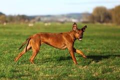 A Rhodesian Ridgeback. A running gundog (bitch) in beautiful autumn landscape royalty free stock image