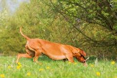 Rhodesian ridgeback running on the meadow Stock Photography