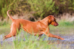 Rhodesian ridgeback running in a pond Stock Image