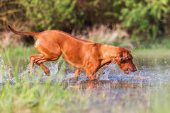 Rhodesian ridgeback running in a pond Stock Photo