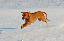 Rhodesian Ridgeback running in snow. A cute Rhodesian Ridgeback dog is running in the snow. The dog has lots of fun while jumping and running through the snow Royalty Free Stock Photos