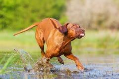 Rhodesian ridgeback running through the water Stock Images