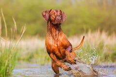 Rhodesian ridgeback running through the water Stock Photography