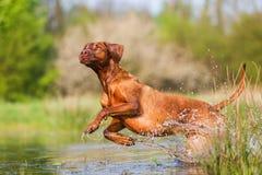 Rhodesian ridgeback running through the water Royalty Free Stock Photo