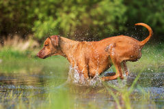 Rhodesian ridgeback running through the water Stock Photos