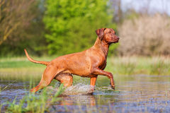 Rhodesian ridgeback running through the water Stock Photo