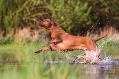 Rhodesian ridgeback running through the water Stock Images