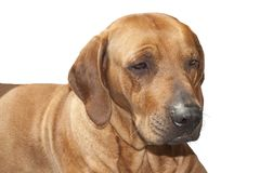 Rhodesian ridgeback, sad sight, detail, Royalty Free Stock Photo