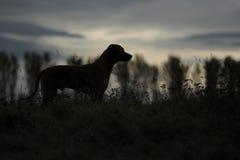 Rhodesian Ridgeback Silhouette Stock Image