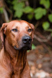 Rhodesian ridgeback. Sitting in the forest Stock Photo