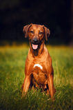 Rhodesian Ridgeback sitting on the grass Royalty Free Stock Photos