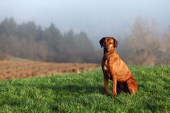 A Rhodesian Ridgeback. A sitting gundog (bitch) in beautiful autumn landscape Royalty Free Stock Photography